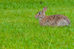 Cottontail Rabbit. Sitting on a footpath looking into the woods Stock Images