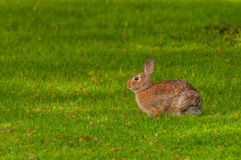 Cottontail Rabbit. Sitting on a footpath looking into the woods Royalty Free Stock Images
