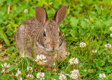 Cottontail Rabbit. Sitting in the grass looking at the camera stock photos