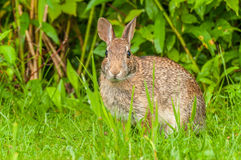 Cottontail Rabbit. Sitting in the grass looking at the camera Royalty Free Stock Images