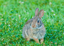 Cottontail Rabbit. Sitting in the grass looking at the camera Stock Images