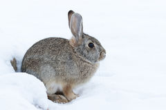Cottontail Rabbit in Snow. A cute cottontail rabbit resting in snow Royalty Free Stock Photography