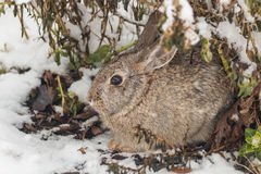 Cottontail Rabbit in Snow. A cute cottontail rabbit takes shelter from the snow Royalty Free Stock Photography