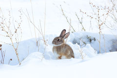 Cottontail rabbit in snow. Watchful cottontail rabbit in snow. Winter in Wyoming, USA stock photo
