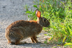 Cottontail Rabbit Sylvilagus. Feeding in  early morning light Royalty Free Stock Image