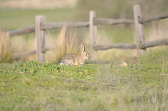 Cottontail Rabbit. (Sylvilagus audubonii) at Barona Indian Reservation, San Diego County, California Stock Photos