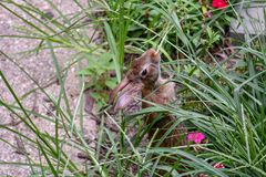 A cottontail rabbit Sylvilagus floridanus eats grass with pink flower in foreground stock photos