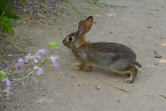 Cottontail Stock Photo