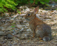 Cottontail Rabbit. On a trail in the woods royalty free stock photos