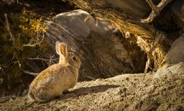 Cottontail Rabbit Under Juniper Tree Stock Photo