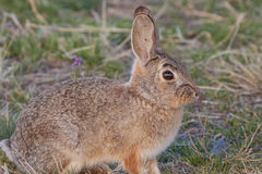 Cottontail Rabbit Up Close Stock Photos