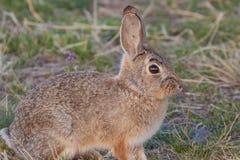 Cottontail Rabbit Up Close Stock Photos