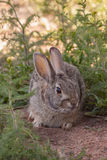 Cottontail Rabbit in Weeds Stock Images