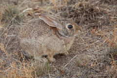 Cottontail Rabbit. A cottontail rabbit well camouflaged Royalty Free Stock Image