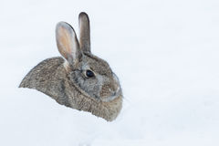 Cottontail Rabbit in Winter. A cute cottontail rabbit resting in snow Royalty Free Stock Images