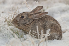 Cottontail Rabbit in Winter. A cute cottontail rabbit sitting in the snow Stock Photo