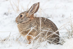 Cottontail Rabbit in Winter Snow Stock Photography