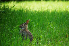 Cottontail Rabbit. A young cottontail rabbit listens for danger in the shade on a sunny day Stock Photography