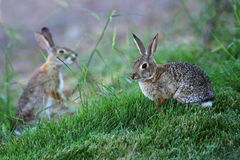 Cottontail Rabbits. A pair of Cottontail rabbits nibble on grass Stock Photos