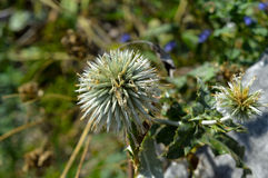 Cottonthistle (Onopordum acanthium). A young Cottonthistle flower in late summer Royalty Free Stock Photography