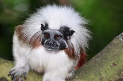 Cottontop Tamarin. The Cottontop Tamarin (Saguinus oedipus), also known as the Pinché Tamarin, is a small New World monkey weighing less than 1lb (0.5 kg). It royalty free stock images