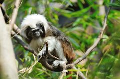 Cottontop tamarin Stock Images