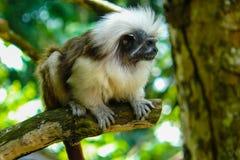 Cottontop-Tamarin-Affeporträt auf dem Dschungel Lizenzfreies Stockfoto