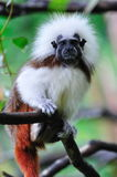 Cottontop Tamarin on alert Royalty Free Stock Photography