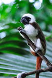 Cottontop Tamarin on alert Stock Photography