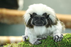 Cottontop tamarin. A cute cotton top tamarin sitting on a branch covered with moss Royalty Free Stock Photos