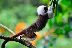 Cottontop Tamarin leaping Royalty Free Stock Images