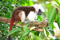 Cottontop tamarin or pinche tamarin. The cottontop tamarin  or pinche tamarin is a small arboreal monkey from tropical forests Stock Photography