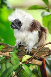 Cottontop tamarin or pinche tamarin. The cottontop tamarin  or pinche tamarin is a small arboreal monkey from tropical forests Royalty Free Stock Images