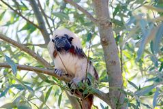 CottonTopped Tamarin. Cotton Topped Tamarin in a tree royalty free stock photography
