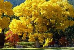 Cottonwood το φθινόπωρο Στοκ φωτογραφία με δικαίωμα ελεύθερης χρήσης