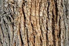 Cottonwood bark. Horizontal image of the bark on an old cottonwood (populus fremontii) tree trunk stock image