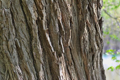 Cottonwood Bark Texture 2 Stock Images