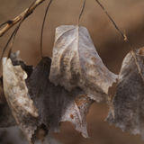 Cottonwood dried leaves in autumn Stock Images