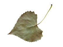 Cottonwood Leaf. Dried and shriveled fremont cottonwood leaf clipping path include stock photos