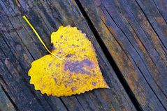 Cottonwood Leaf Royalty Free Stock Photo