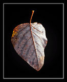 Cottonwood Leaf. Still life depicting a fallen cottonwood leaf Royalty Free Stock Photography