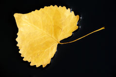 Cottonwood Leaf in Water. Yellow Cottonwood Leaf Floating in Black Water, With Hot Sun Spots at Edge of Faint Leaf Shadow royalty free stock images