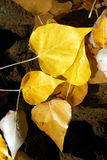 Cottonwood Leaves in Stream Royalty Free Stock Image