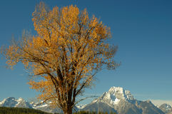 Cottonwood and Mt Moran 1. A cottonwood tree against the backdrop of a beautiful blue sky and Mt Moran.  Grand Teton National Park, Wyoming Stock Photo