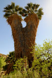 Cottonwood Palms Royalty Free Stock Photo