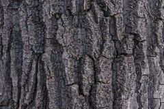 Cottonwood Poplar Tree Bark 1 Stock Images