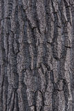 Cottonwood Poplar Tree Bark 2 Stock Photos