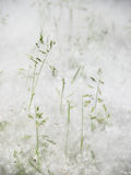 Cottonwood seeds cover the grass Stock Image
