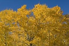 cottonwood spadek drzewa Zdjęcie Stock