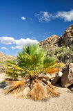 Cottonwood Spring. A Palm tree in the California sun at Cottonwood Spring Royalty Free Stock Photography